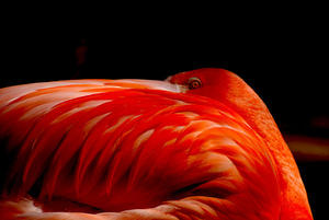 Flamingo  im Zoo Hannover