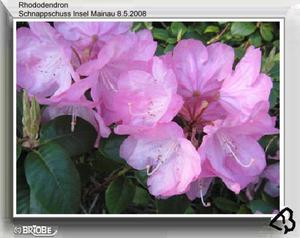 Rhododendren (Singular: der Rhododendron) (Rhododendron) sind eine Gattung aus der Familie der Heidekrautgewchse (Ericaceae).
