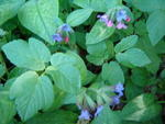 Lungenkraut  ( Pulmonaria officinalis agg. )