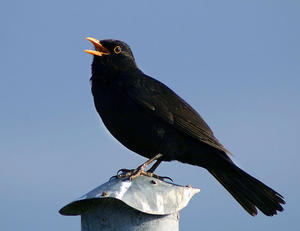 Amsel (Turdus merula), singendes Mnnchen.