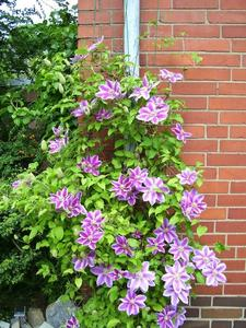 Clematis Dr. Ruppel, besser als Nelly Moser