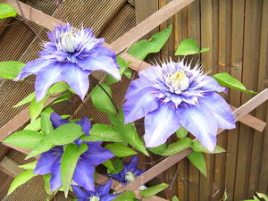 Clematis Multi Blue--tolle Blte
