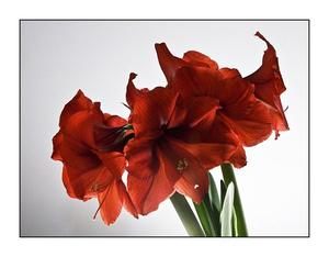 Amaryllis / Hippeastrum / Ritterstern