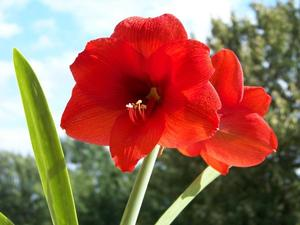 Rote Amaryllis blht