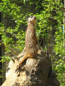 Erdmnnchen (Suricata suricatta)