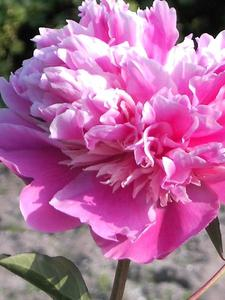 Paeonia  Pfingstrose