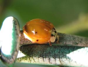 Der Asiatische Marienkfer, heller Farbmorph (Harmonia axyridis)