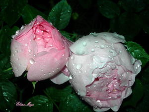 Rosen, im Regen, bei Nacht