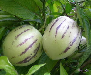 Birnenmelone, Melonenbirne oder Pepino (Solanum muricatum)