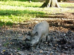 Wissenswertes ber Wildschweine fr Lufer