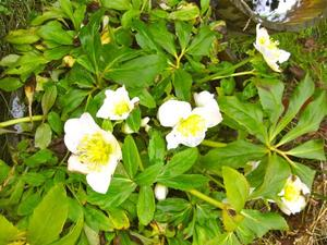 Die Christrose (Helleborus niger) wird auch Schneerose genannt - jetzt blht sie!