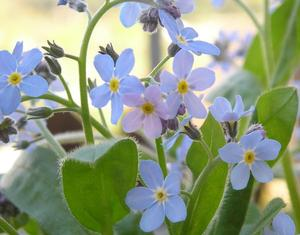 Myosotis sylvatica