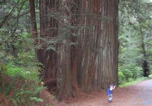 Beeindruckende Giganten: Redwood-Tree in Oregon/USA
