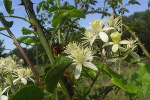Clematis