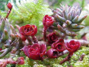 Sedum. 'Kleine Rschen aus Wachs'.