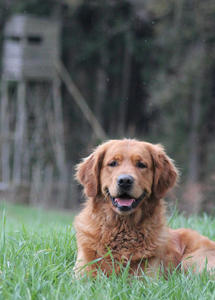 Golden Retriever Asim, Pause im Revier