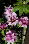 Rhododendron in lila....