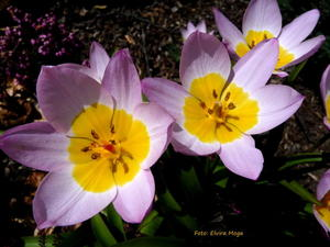 Die Felsen-Tulpe-Tulipa saxatilis 'Lilac Wonder'