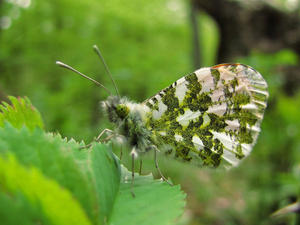 Schmetterling.
