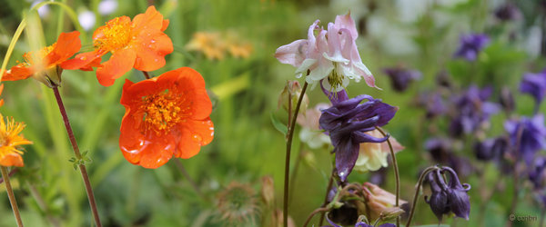 Orangerote Nelkenwurz und Akelei (Aquilegia)