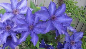 Clematis im Garten der Nachbarin