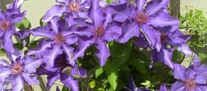 Clematis in der Mittagssonne in lila.