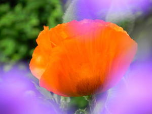 Der Mohn ist in voller Blte