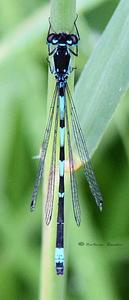 Fledermaus-Azurjungfer (Coenagrion pulchellum) in der Mertinger Höll