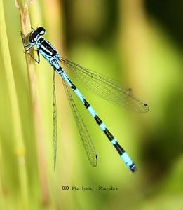 Vogel - Azurjungfer (Coenagrion ornatum)