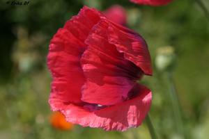 Klatschmohn mit Windstofrisur.....