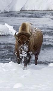 Natur im Fernsehen - Mein Filmtipp - 'Yellowstone - Winter der Bisons'