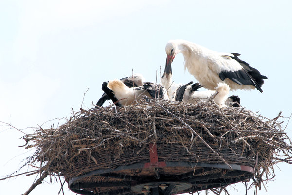 Storchennest in Zerpenschleuse
