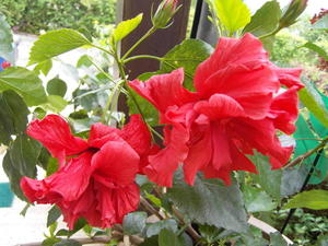Hibiskus