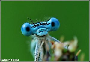 Close Up - Blaue Federlibelle (Platycnemis pennipes),