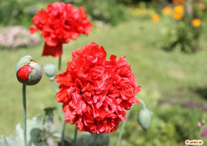 Gefllter Mohn