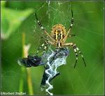 Wespenspinne (Argiope bruennichi) und Gebnderte Prachtlibelle (Calopteryx splendens)