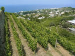 Weinanbau auf Ischia, hier im Weingut Cantine Muratori