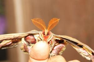 (Attacus atlas)