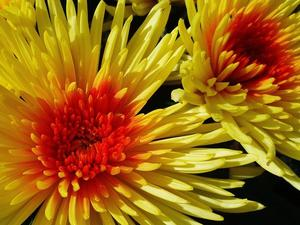 Chrysanthemen am 20.9.2012 !