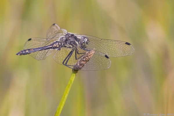 Mnnliche Schwarze Heidelibelle ( Sympetrum danae )