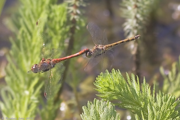 Tandem der Blutroten Heidelibellen (Sympetrum sanguineum) bei der Eiablage. Am Abdomenende des Weibchens kann man Eier erkennen.