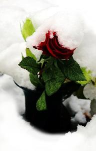 Schneerose