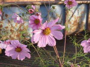 Cosmea vor Container (30.10.2012)