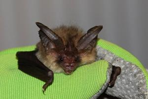 Fledermaus in Garbsen gefunden? Fledermaus-Betreuer helfen!