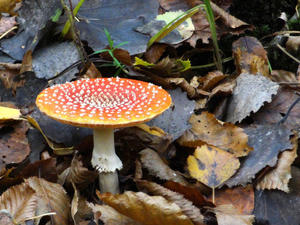 Amanita muscaria