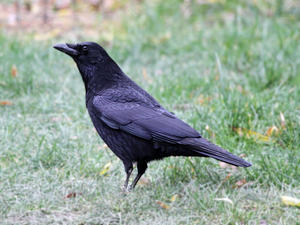 Rabenkrhe (Corvus corone corone)
