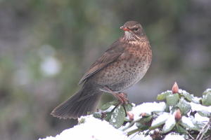 Amsel (w) im Winter