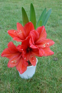 Meine Hippeastrum