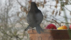 Amsel-Hahn