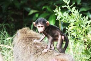Pavianbaby reitet auf Mama's Rcken, Lake Manyara Nationalpark